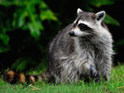VIDEO: Raccoons force woman from her apartment