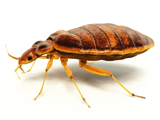 Bedbug problem growing in metro