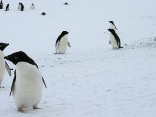 150,000 penguins die after getting landlocked