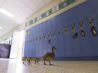 Mama, ducklings take annual walk through school
