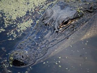 Killer alligator captured at Disney World