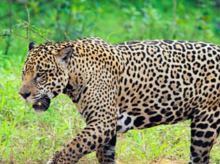 Jaguar from Olympic torch event shot, killed