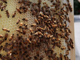 EPA backs away from rules on bee pesticides
