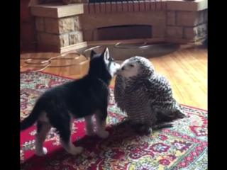 Snowy owl, husky puppy are best of friends