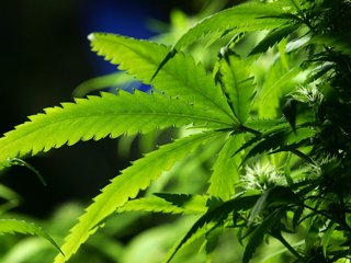 Rollout of medical pot will take several months